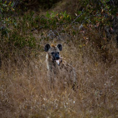 Imbali-Hoyo-Hamilitons-Mluwati-May-Hyena-Bush