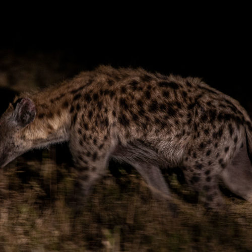 Imbali-Hoyo-Hamilitons-Mluwati-May-Hyena-at-night