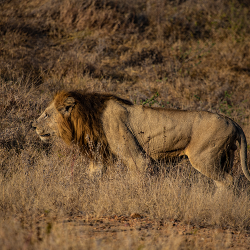 Imbali-Hoyo-Hamilitons-Mluwati-May-Male-lion
