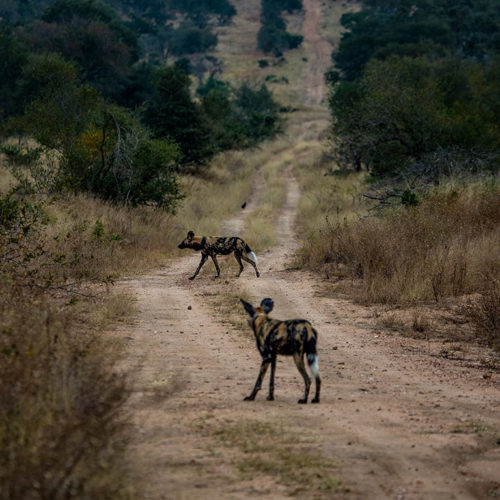 Imbali-Hoyo-Hamilitons-Mluwati-May-Wild-dog-on-dirt-road