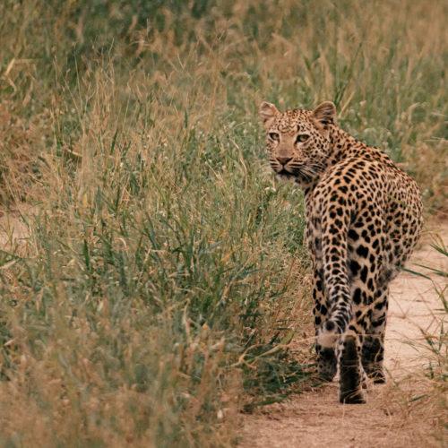 Imbali-leopardonroadwide-timhulme